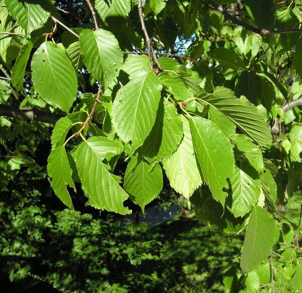 Prunus conradinae Koehne