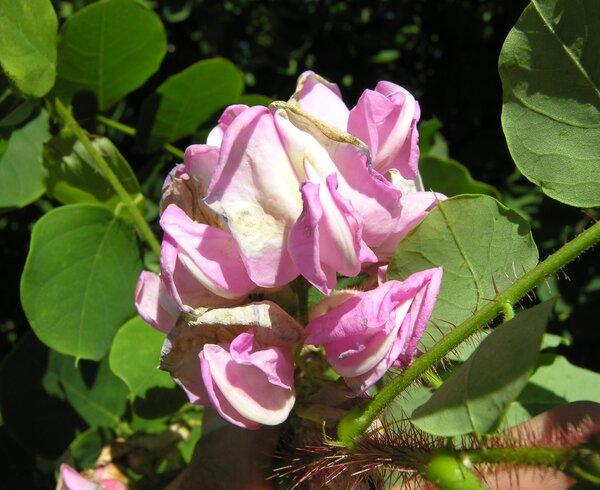 Robinia hispida L.