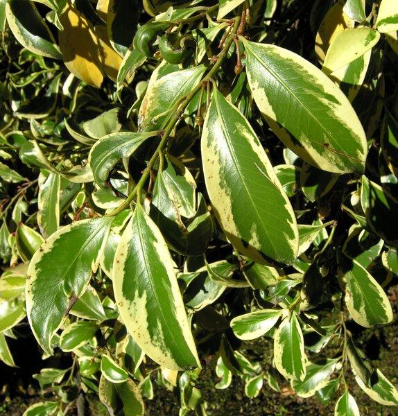Cleyera japonica Thunb. 'Fortunei'