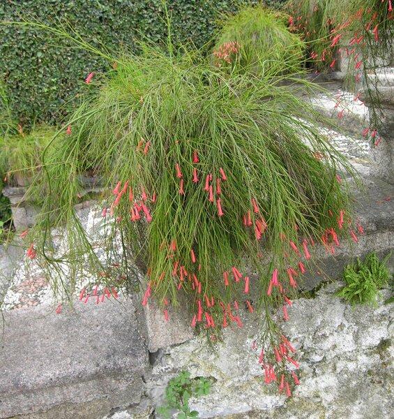 Russelia equisetiformis Schltdl. & Cham.