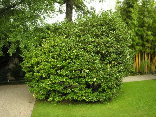 Camellia japonica L. s.l.