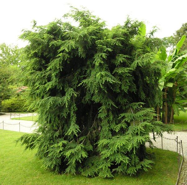 Tsuga canadensis (L.) Carrière 'globosa'