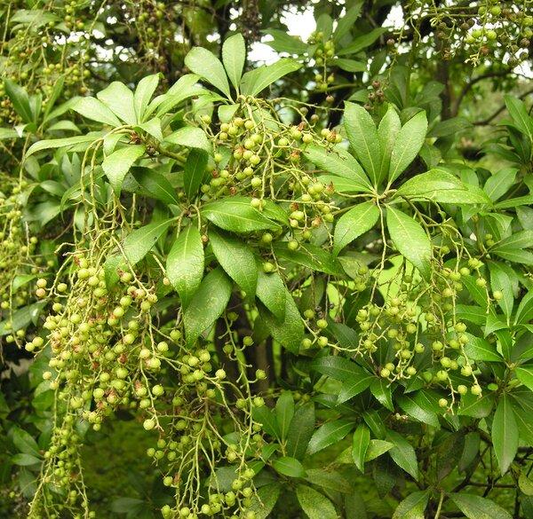 Pieris japonica (Thunb.) D.Don 'Formosa'