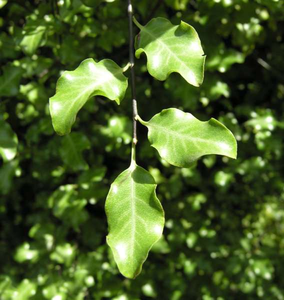 Pittosporum tenuifolium Banks & Soland. ex Gaertn. 'Nigricans'