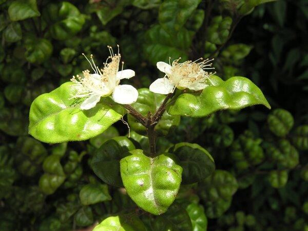 Myrtus bullata Burret