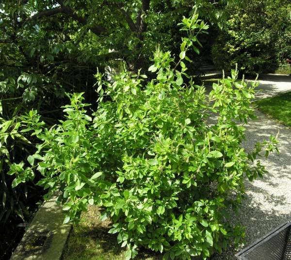 Clethra alnifolia L.