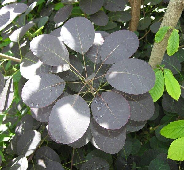 Cotinus coggygria Scop. 'Purpurea'