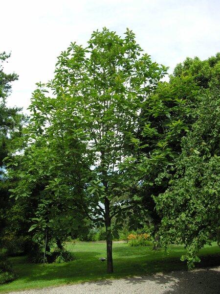 Magnolia macrophylla Michx.