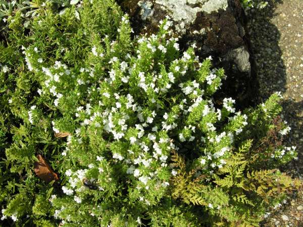 Satureja parnassica subsp. parnassica Heldr. & Sart ex Boiss.