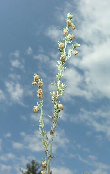 Artemisia caucasica Willd.