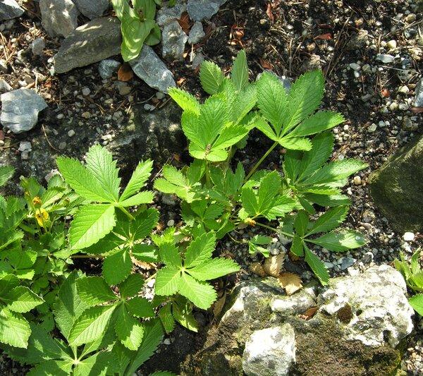 Potentilla delphinensis Gren. & Godr.