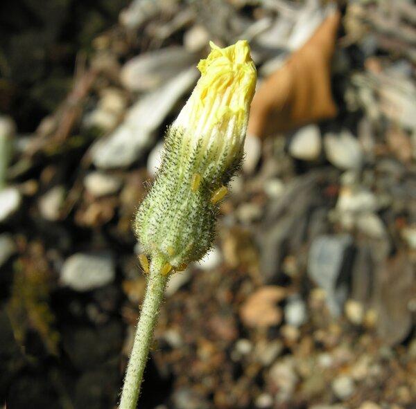 Hieracium pilosella L. grex incanum (DC.) Zahn