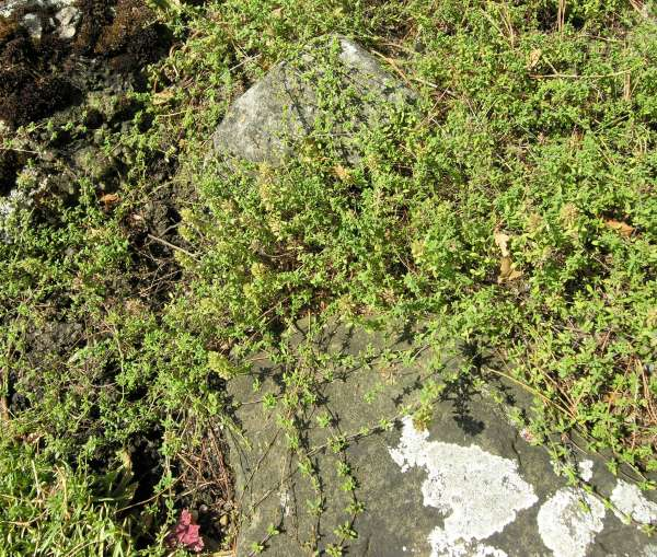 Thymus nitens Lamott