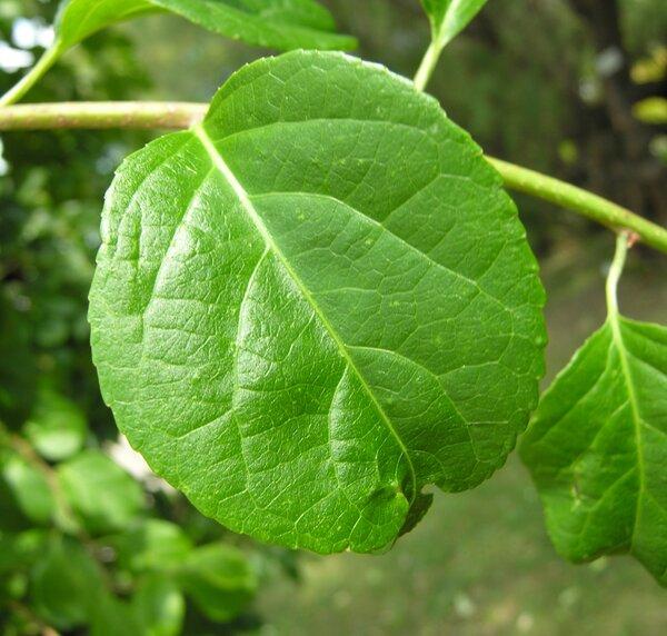 Celastrus scandens L.