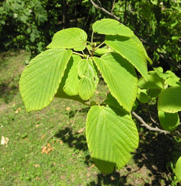 Corylopsis spicata Siebold & Zucc.
