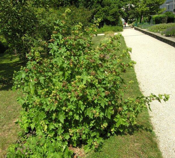 Kitaibelia vitifolia Willd.