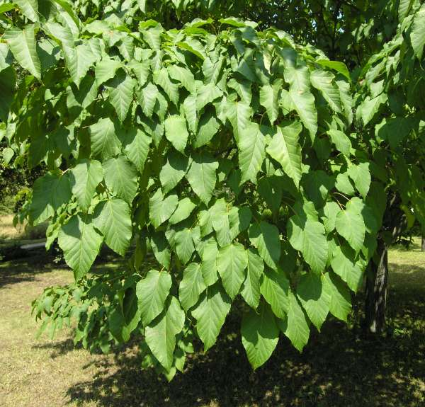 Acer capillipes Maxim.