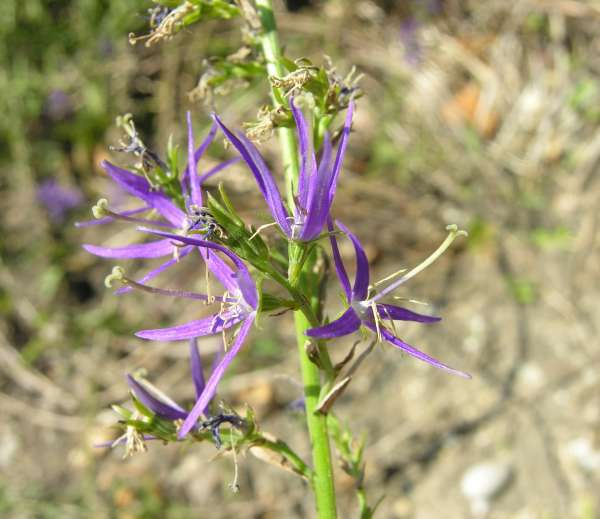 Asyneuma canescens (Waldst. & Kit.) Griseb. & Schenk.