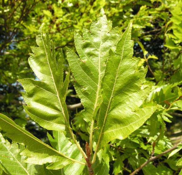 Fagus sylvatica L. ('Aspleniifolia', 'Laciniata' etc.)