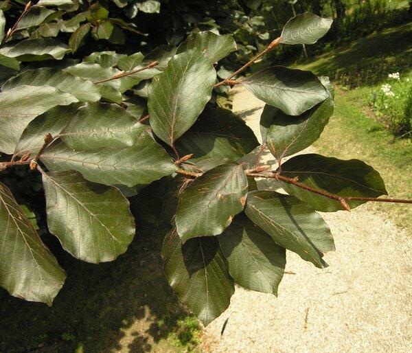 Fagus sylvatica L. 'Atropunicea'