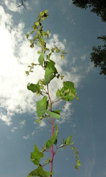 Atriplex hortensis L. subsp. hortensis