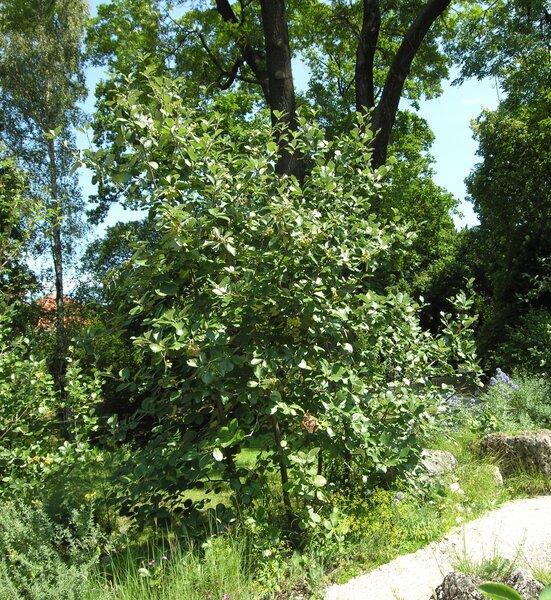 Sorbus aria (L.) Crantz subsp. danubialis (Jáv.) Oberd.