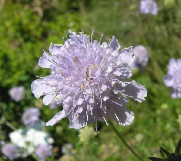 Scabiosa canescens Waldst. & Kit.