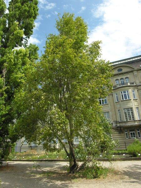 Populus simonii Carrière