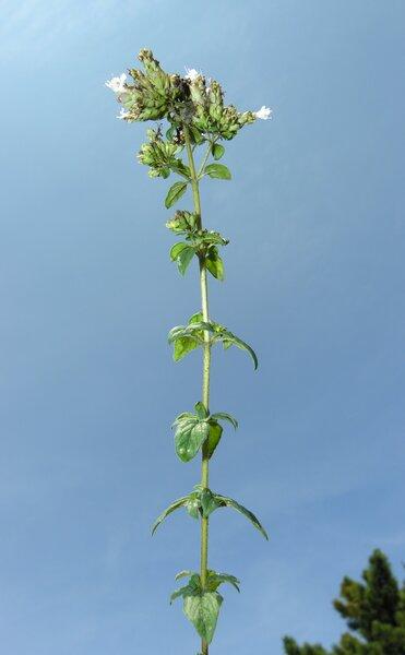Origanum vulgare L. subsp. prismaticum Gaudin