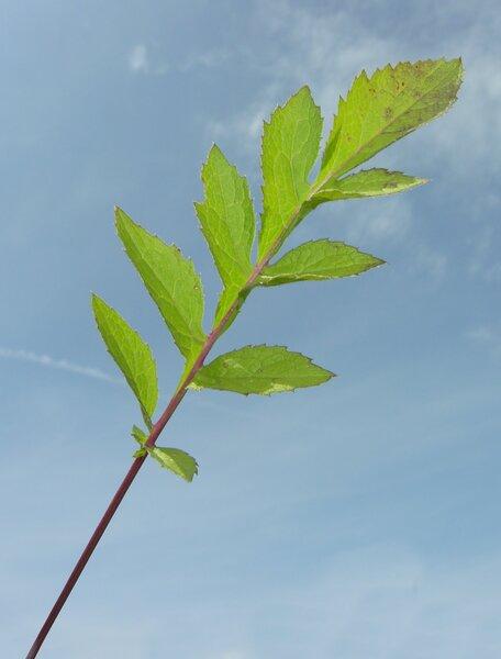 Klasea radiata (Waldst. & Kit.) Á.Löve & D.Löve subsp. radiata