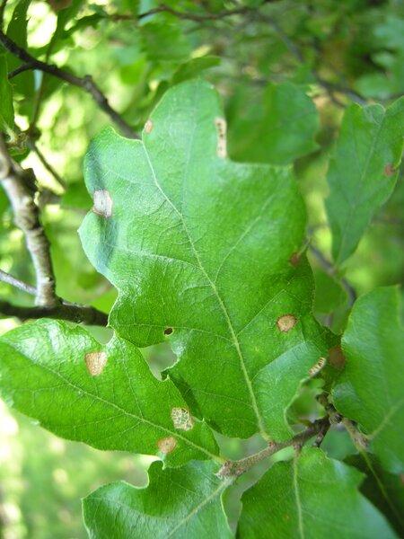 Quercus ×crenata Lam.