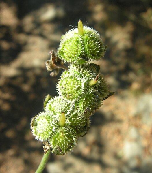 Cynoglossum officinale L.