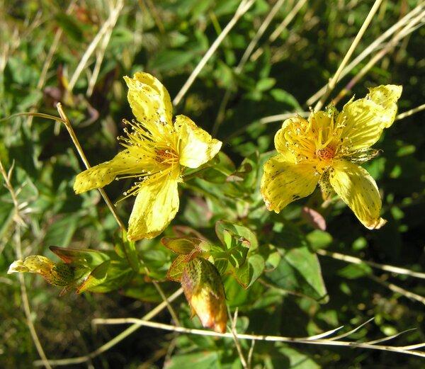 Hypericum richeri Vill. subsp. richeri