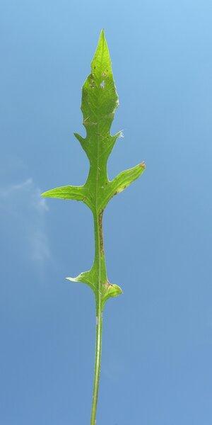 Centaurea deusta Ten.