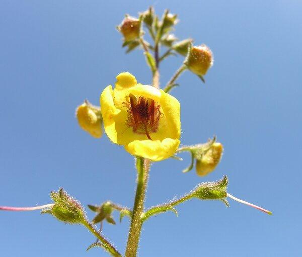 Verbascum blattaria L.