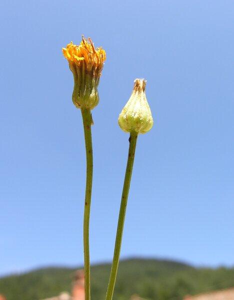 Crepis pulchra L. subsp. pulchra