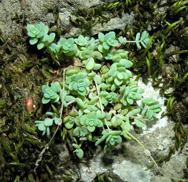Sedum dasyphyllum L. subsp. dasyphyllum