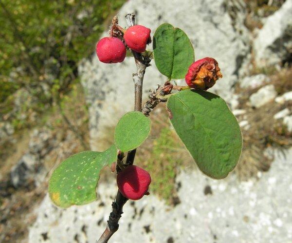 Cotoneaster integerrimus Medik.