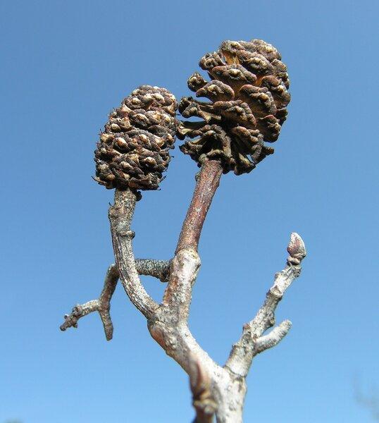 Alnus cordata (Loisel.) Duby