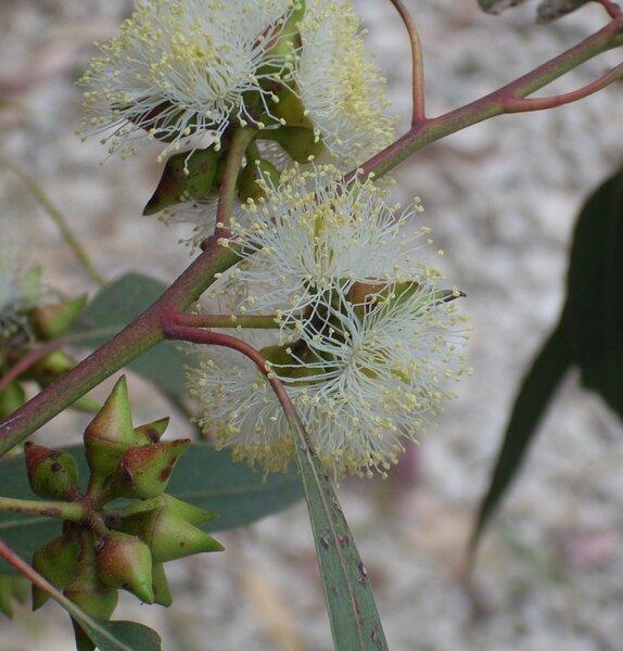 Eucalyptus camaldulensis Dehnh. subsp. camaldulensis