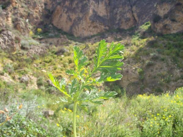 Erodium ciconium (L.) L'Hér.