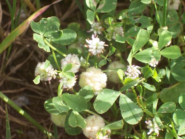Trifolium tomentosum L.