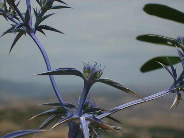 Eryngium triquetrum Vahl