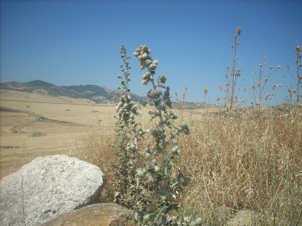 Cirsium scabrum (Poir.) Bonnet & Barratte