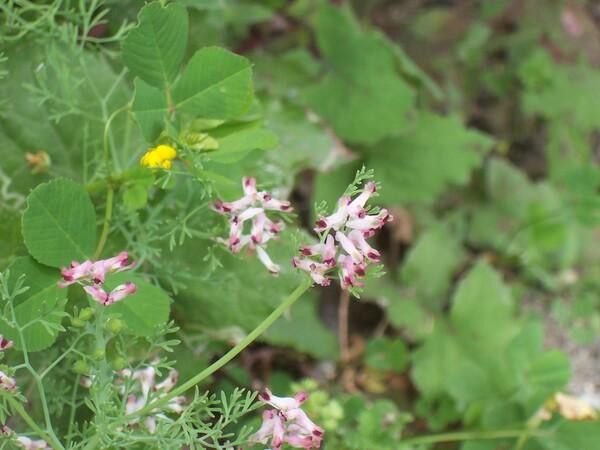 Fumaria parviflora Lam.