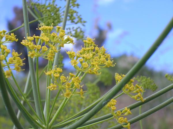 Opopanax chironium (L.) W.D.J.Koch