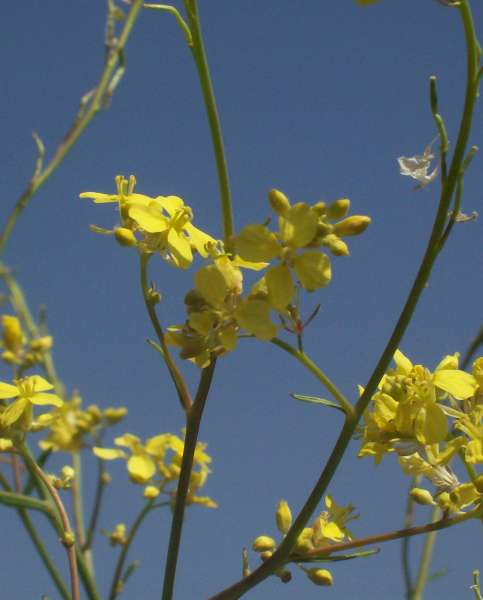 Hirschfeldia incana (L.) Lagr.-Foss. subsp. incana