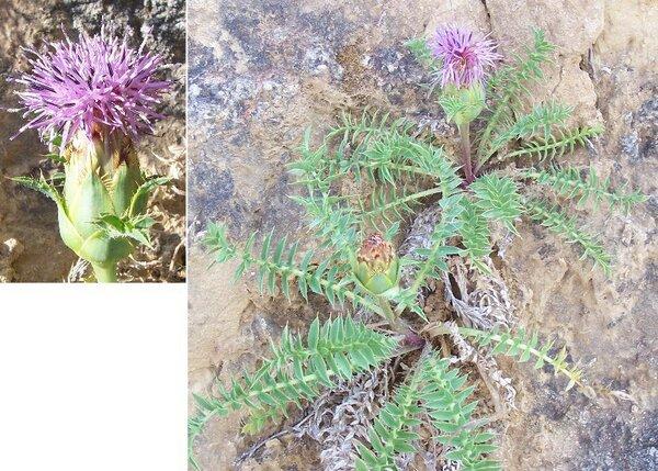 Carthamus pinnatus Desf.