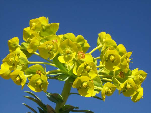Euphorbia rigida M.Bieb.