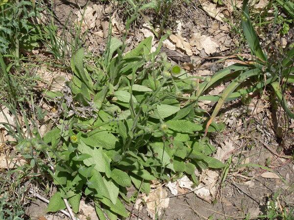 Pulicaria odora (L.) Rchb.